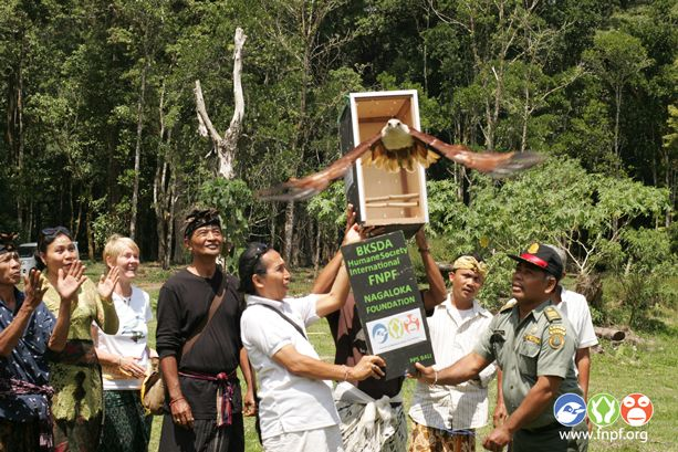 FLYING free: A Brahminy kite is released into ancient forest at Lake Tamblingan, Bali, by Dr Bayu Wirayudha, founder and CEO of Friends of National Parks, Foundation, in September 2014.  It's one of a number of rehabilitated birds that have been released after being seized from smugglers by wildlife rangers from the Indonesian Department of Forestry's Natural Resources Conservation Agency. A special Hindu ceremony precedes the birds' release. Makes my heart soar.