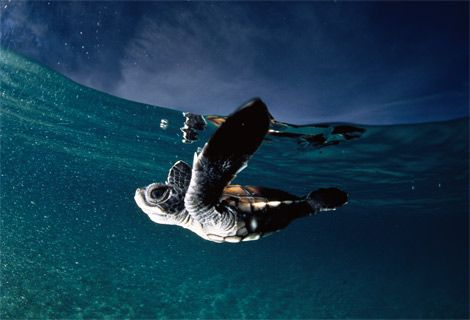 baby turtles swimming | animal photography | Pinterest
