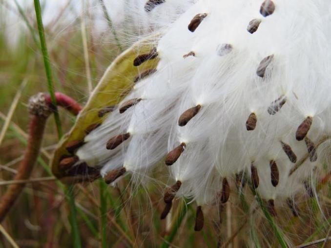 autumn gomphocarpus seeds