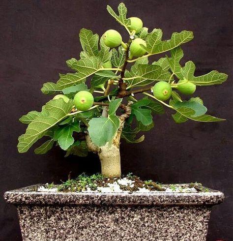 20+ Gorgeous Fruit Trees Ideas For Bonsai