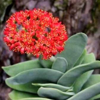 Crassula perfoliata var. minor  - Propeller Plant - Indigenous South African Succulent