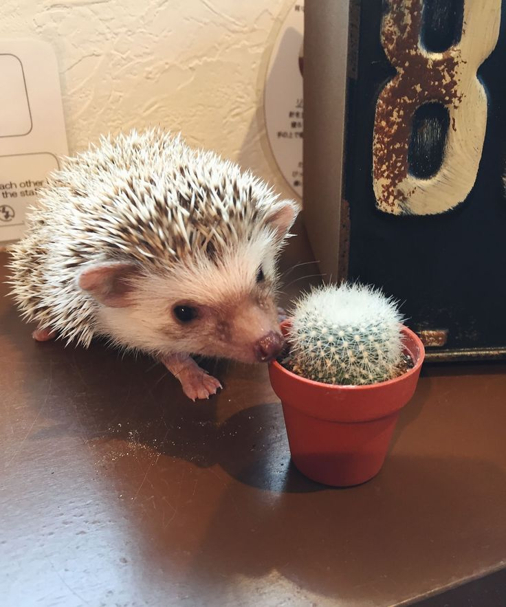 Why Is It Called Honeymoon: I Went To A Hedgehog Café In Tokyo