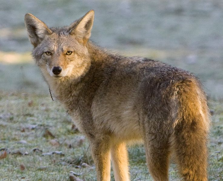 A coyote roams through Discovery Park during a cold morning in 2008. (Mike Siegel/The Seattle Times)