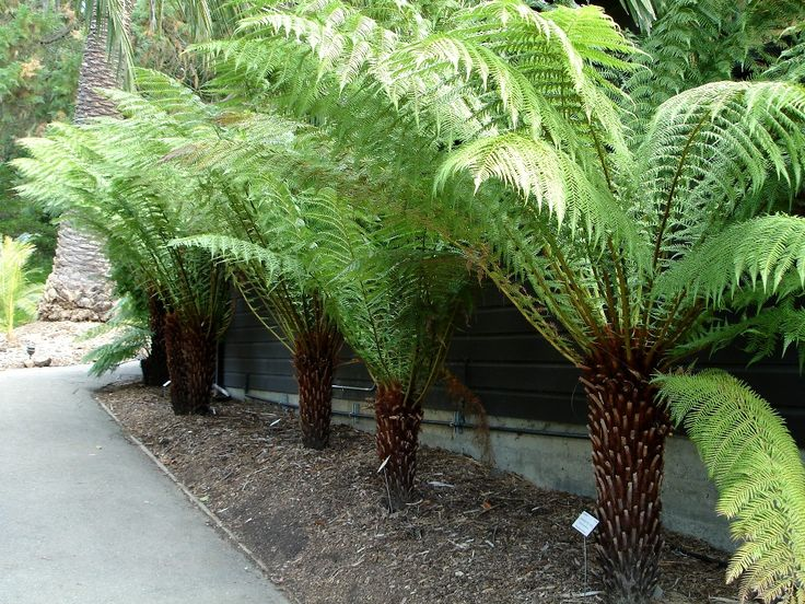 Dicksonia antarctica or Evergreen tree fern