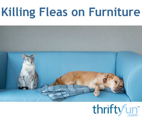 This is a guide about killing fleas on furniture. When your house becomes infested with fleas, they can take up residence in and on your furniture.