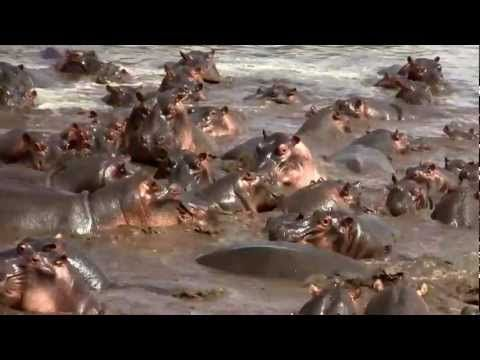 Hippos Destroys Crocodile Rare Footage Wow check this out!