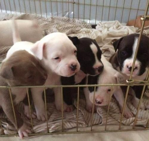 Adopt Bully Puppies on American bulldog mix, Boxer dogs