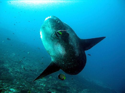 Recluse giant: Most divers come to Nusa Lembongan to meet the elusive Mola mola ocean sunfish. (Photo courtesy of Coral ...