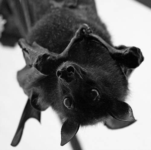 bats are such wonderful, helpful creatures. Detest peoples' ignorance about them