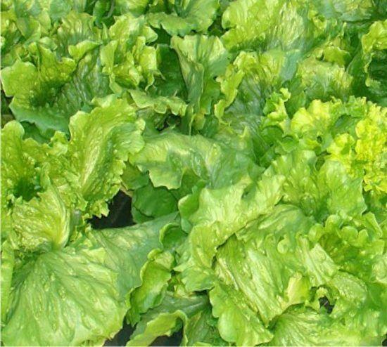 Le lattughe sono piante annuali della famiglia delle composite, sono molto diffuse negli orti famigliari, ce ne sono sostanzialmente due famiglie: le lattughe da cespo e quelle da taglio, dette anche lattughini. Le lattuge da cespo producono un cespo sviluppato e si raccoglie tutta la pianta, ne fan