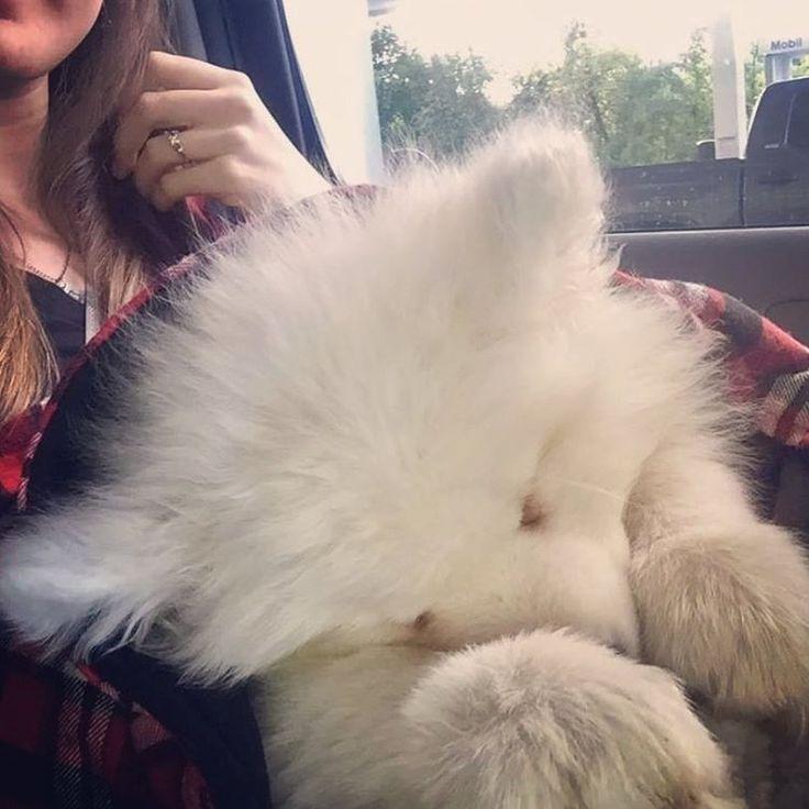 Sleepy big baby puppy @stanley_the_sammy
