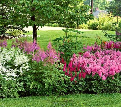 Astilbes do well in the shade