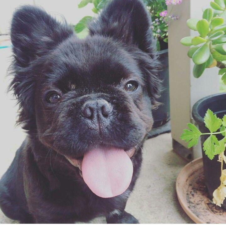 Fluffy frenchie | French bulldog | Pinterest