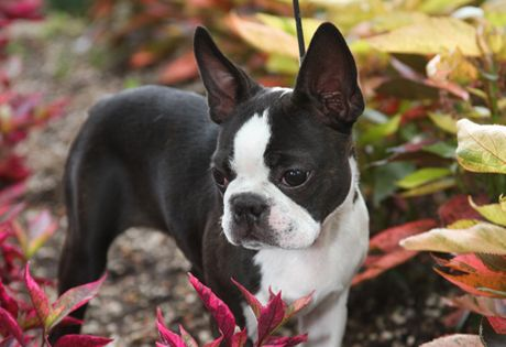 """Boston Terrier The Boston has been nicknamed """"the American Gentleman"""" because of his dapper appearance, characteristically gentle disposition and suitability as companion and house pet. They require only a moderate amount of exercise and a minimum amount of grooming. The breed is easy to train and they are easy keepers, preferring to remain by their owner's sides."""