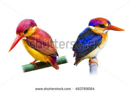 black backed kingfisher and Rufous-backed Kingfisher