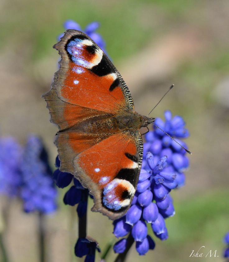 Peacock butterfly on muscari