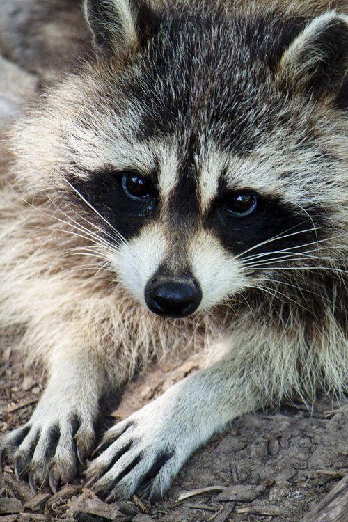 Beautiful Raccoon  I LOVE LOVE raccoons!