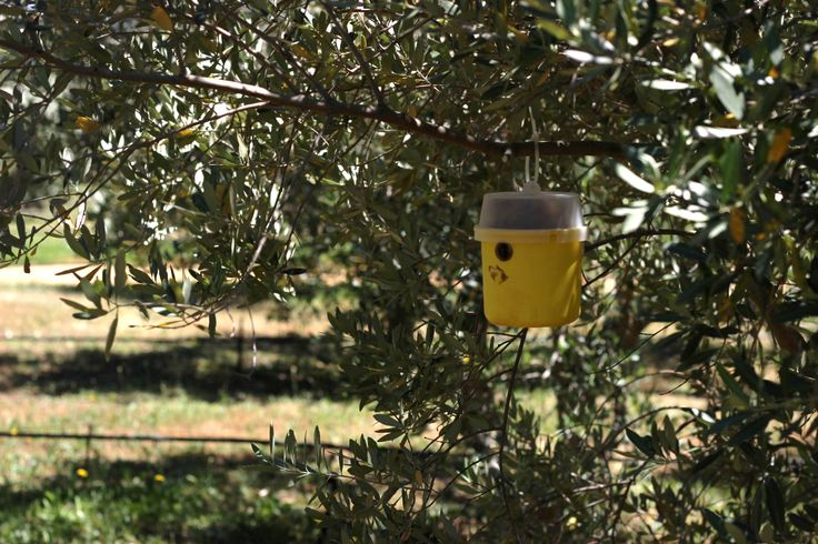 No pesticides are administered on the fruit or leaves of our trees, instead we use pheromone traps to control fruit and olive flies. Follow this link for the full post: http://bit.ly/QuEVOO5