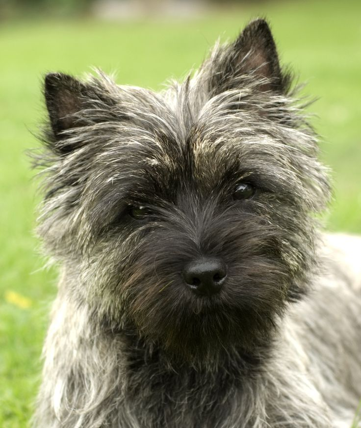 cairn+terrier | cairn terrier wallpaper - www.smscs.com | LOVE CAIRNS ...