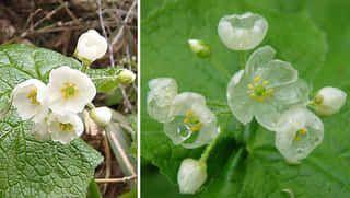 VIDEO: Poznáte rastlinu, ktorej kvety v daždi spriesvitnejú?