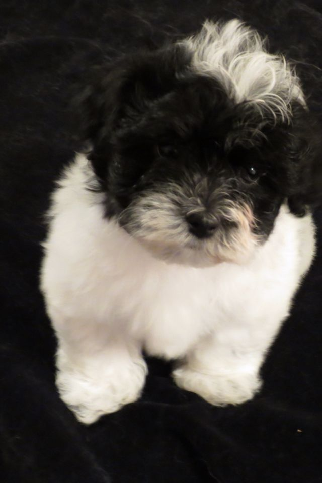 17 Best Images About Havanese On Pinterest Puppys