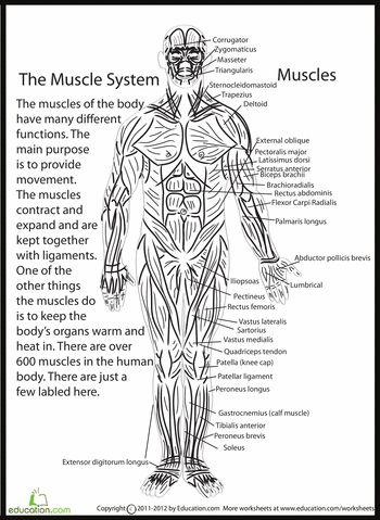 Worksheets: Human Anatomy: Muscles