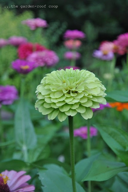 Zinnia 'Green Envy'