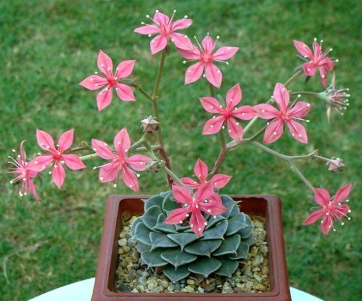 Suculentas floreciendo hermosas
