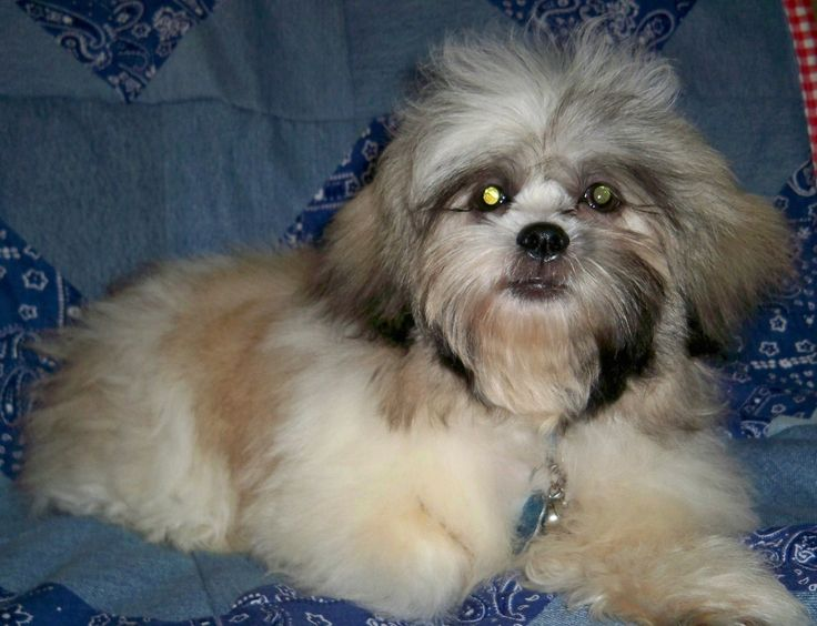 average life of a shih tzu boyington shih tzu fan fotos pinterest pictures and 6311