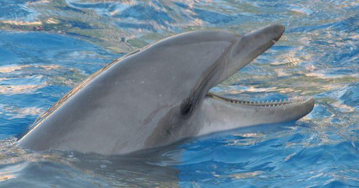 ¿Qué tan alto pueden saltar los delfines?. Los entrenadores de animales en los acuarios y parques marinos entrenan a los delfines para saltar entre 15 y 30 pies (45,7-91,4 m) sobre el agua en espectáculos para la audiencia. Los delfines también saltan en la naturaleza. Los biólogos han determinado varias razones para este comportamiento, aunque los delfines también parecen saltar a veces ...