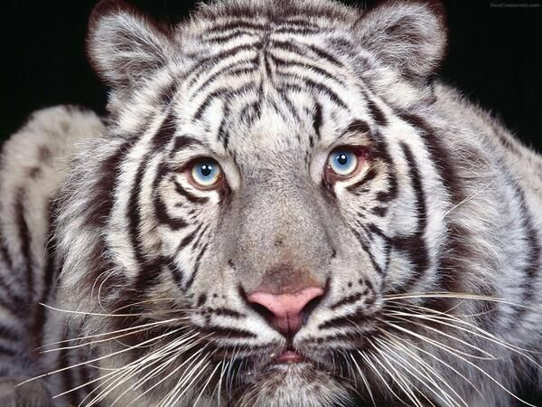 baby white tigers with blue eyes wallpapers 54636 movieweb