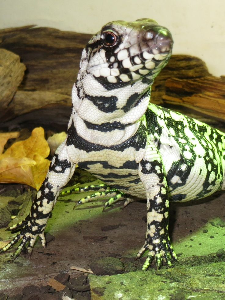Most Design Ideas Tegu Lizard Pictures, And Inspiration