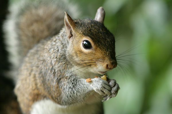 Squirrels are nimble, bushy-tailed rodents found all over the world. There are more than 200 species of squirrels.
