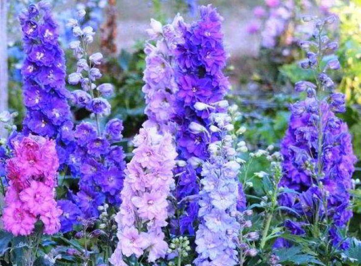 дельфиниум фото цветов