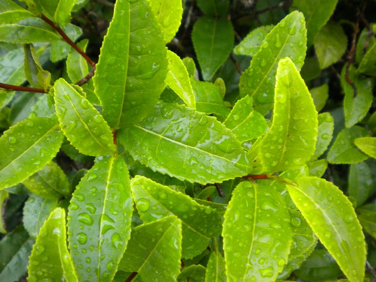Tea leaves after a light rain in Aso City.