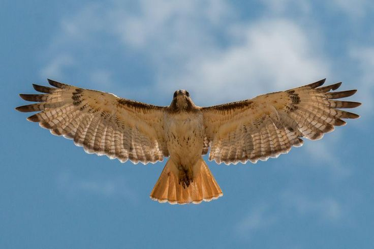 Red-Tailed Hawks, Red-Tailed Hawk Pictures, Red-Tailed Hawk Facts ...