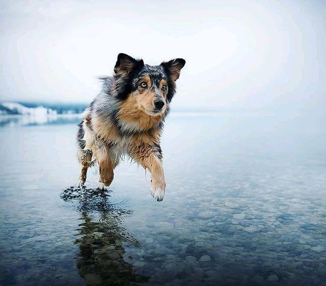 """Reposting @fotosmit_tieren:  … """"Tagt euer  Bild mit #tier_fotos und vielleicht reoposte ich euer  Bild!  Foto von @anne.geier.fotografie . . . #sonne #wald #fotografie #hund #portraitphotography #fotograf #chien #fotografieren #perro #hundeliebe #cane #hundar #photographie #hunde #foto #valp #welpe #portraits #hundeblog #dogofinstagram #mydog #sheltie #shetlandsheepdog #tier #hound #djur #собака #dogphotography #Dog . @calvinhollywood @dirkkreuter @ninaschnitzenbaumer @jaworskji @alex_lovesnelly @anne.geier.fotografie @traum_vom_eigenen_hund @herzenshund.marly @trubelrudel @vieler.photography @wieselblitz @my_name_is_bobba @natgeo @earthpix @lovelymoments_tierfotografie @dianawahl_fotografie @l.a._photo @janaknabefotografie"""""""
