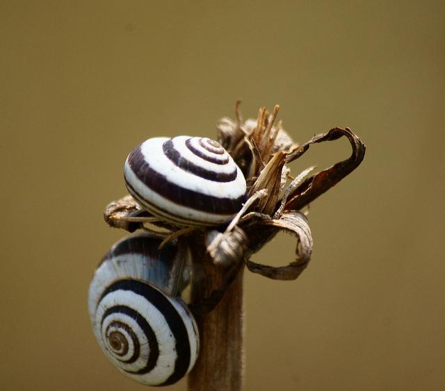 Banded Snail by Deborah Rigden