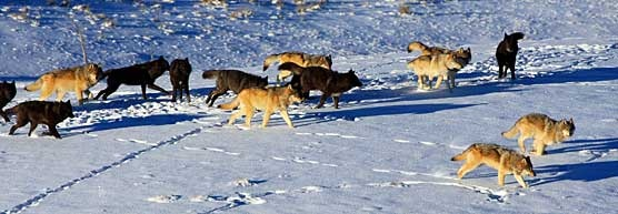 Wolf-watching in Yellowstone National Park.