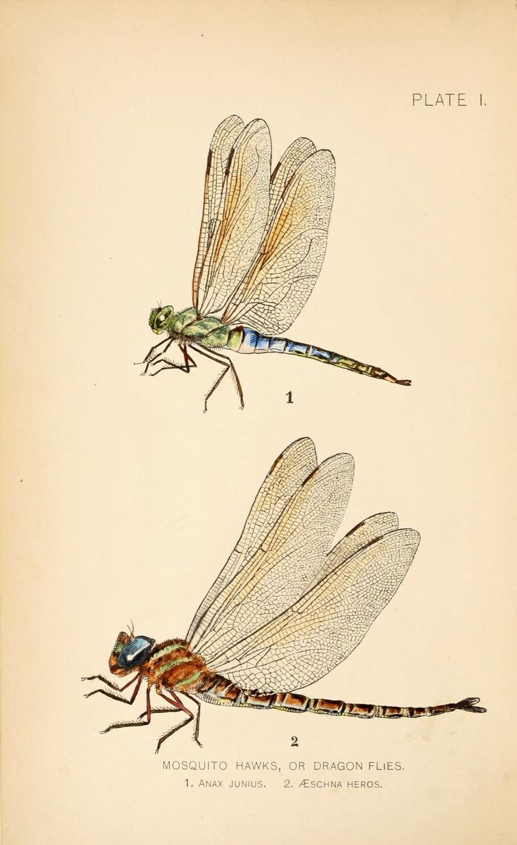 Dragon flies vs. mosquitoes. Can the mosquito p...