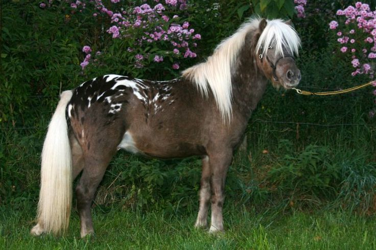 Appaloosa German Classic Pony Stallion Farbenfroh S