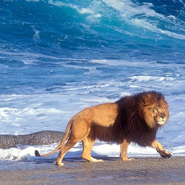 The Barbary Lion: Considered The Largest in The World ...