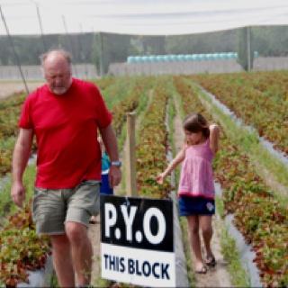Picking strawberries in Havelock north nz