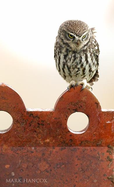 Owls - Mark Hancox Bird Photography