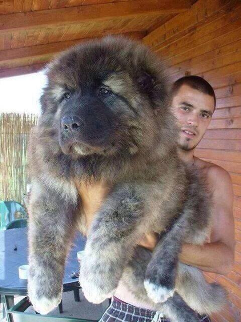 Un pequeño cachorro de la raza leonberger de origen alemán.