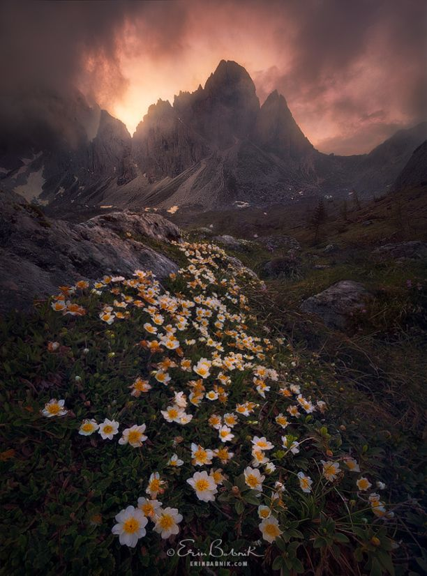 "I am leading a photography workshop to this region July 5-11, 2015. Please visit my website for more information. ------ ""Flowers for Miles"" by Erin Babnik A carpet of White Dryas blooms stretching out towards the craggy peaks of Croda Sora i Colesei at sunset. This mountain likes to play hard to get. I spent three days pointing a camera at it, and it revealed itself to me one evening only for a few minutes. The rest of the time... Discovered by Erin Babnik at Dolomites, Italy, Sexten, Italy"
