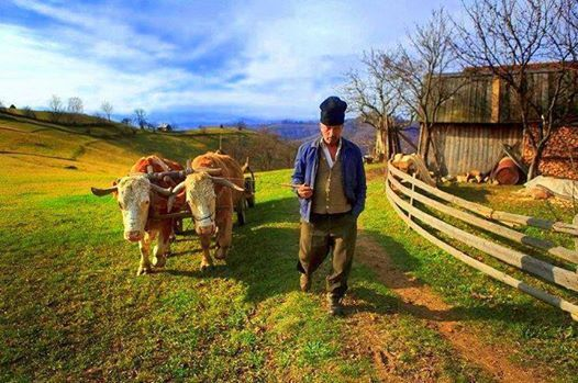 Farmer with oxen in Transylvania