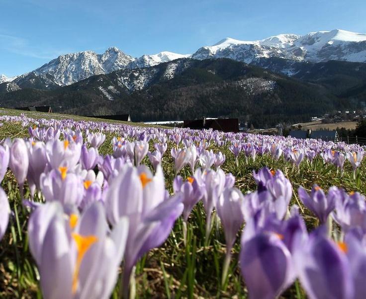 W Tatrach zakwitły krokusy...