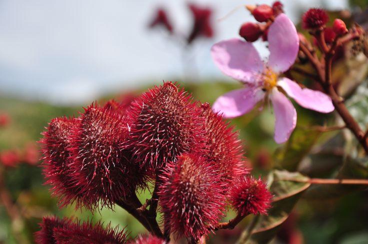 La planta se encuentra en el Caribe y en Sudamérica