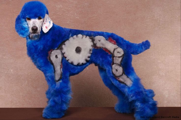 Does blue fit to a poodle?